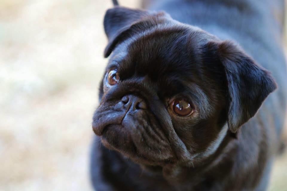 Breeder Directory Pug Club Of Canada