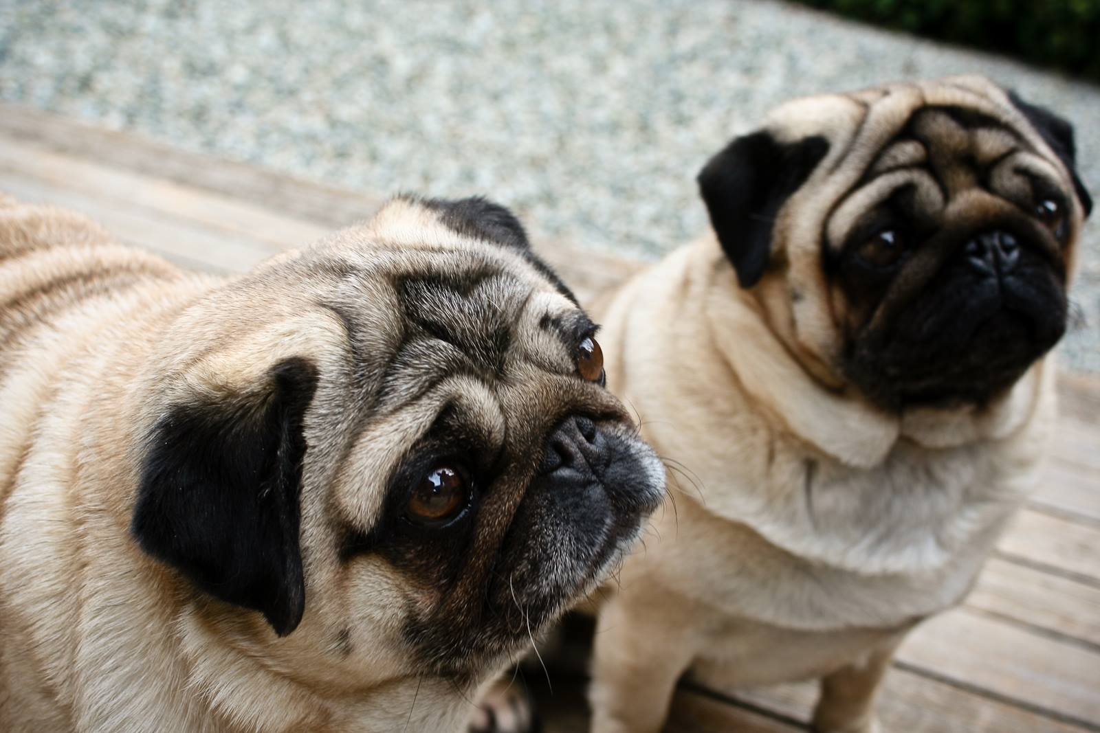Pug Club Of Canada Committed To The Betterment Of The Pug Dog